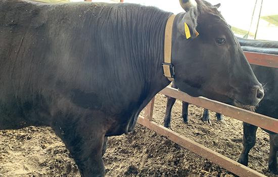 AIによる牛の健康管理